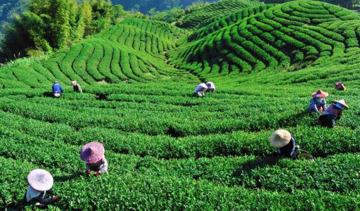 Bois Chéri Tea Plantation
